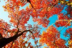 Der rote Monoahorn und cyan-blaue der Himmelherbst Stockfotografie
