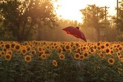 Der rote Regenschirmsonnenschein der Sonnenblume stockfotos