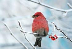 Der rote Vogel, der auf den mit Frost umfassten und eingefrorenen Niederlassungen sitzt, isst Ebereschenbeeren Stockbild