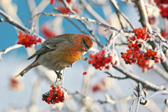 Der rote Vogel, der auf den mit Frost umfassten und eingefrorenen Niederlassungen sitzt, isst Ebereschenbeeren Stockfoto