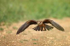Der Rotfussfalke im Flug, Falco-vespertinus Lizenzfreies Stockfoto