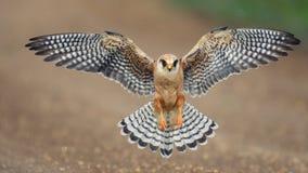 Der Rotfussfalke im Flug, Falco-vespertinus Lizenzfreies Stockbild
