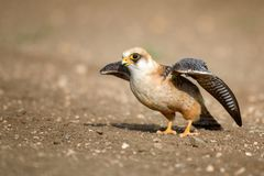 Der Rotfussfalke im Flug, Falco-vespertinus Lizenzfreie Stockfotos