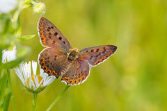 Der rußige kupferne Schmetterling Stockbilder