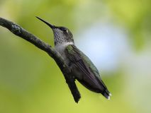 Der Rubin-throated Kolibri stockbild