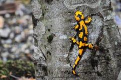 Der Salamander. Lizenzfreie Stockfotos