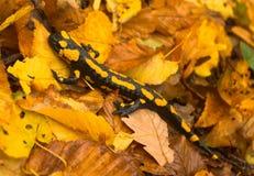 Der Salamander Stockfotos