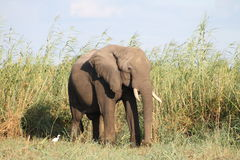 Der Sambesi-Elefant Stockfotografie