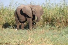 Der Sambesi-Elefant Stockbilder