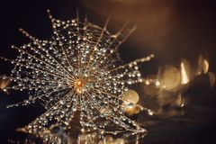 Der Samen des lauchblättrigen Bocksbarts in der Wassertröpfchennahaufnahme Brown-Goldhintergrund mit Strahlen des Lichtes und des stockbilder