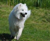 Der Samoyedhund Lizenzfreies Stockfoto