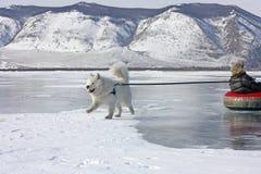 Der Samoyedhund auf dem Baikalsee, der das Kind im neues Jahr ` s Feiertag rodelt Lizenzfreie Stockbilder