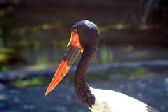 Der Sattel-berechnete Storch ist ein großer watender Vogel in der Storchfamilie stockfotografie