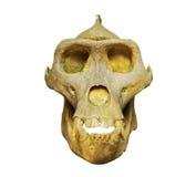 Der Schädel des Gorillas auf weißem Hintergrund Stockfotos