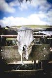 Der Schädel einer Kuh hängt an einem Bretterzaun Lizenzfreies Stockfoto