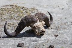 Der Schädel eines Büffels Stockbild