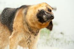 Der Schäferhund Lizenzfreies Stockbild