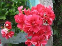 Der schöne Blütenstand von Efeublatt Pelargonie PAC-Aprikose Stockfotos