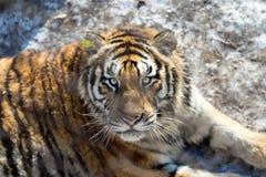Der schöne Blick eines Tigers hinter dem Zaun in Harbin Lizenzfreies Stockfoto