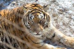 Der schöne Blick eines Tigers hinter dem Zaun in sibirischen Tiger Park, Harbin, China Lizenzfreie Stockfotos