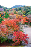 der schöne bunte momiji Ahornbaum in der Herbstsaison, Ahorn Lizenzfreies Stockbild