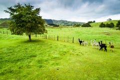 Der schöne Landschafts- und Alpakabauernhof in Whanganui, Neuseeland lizenzfreie stockfotos
