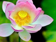 Der schöne Lotos in voller Blüte Stockbilder