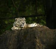 Der schöne Schnee-Leopard Stockfotografie