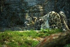 Der schöne Schnee-Leopard Stockfoto