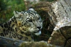 Der schöne Schnee-Leopard Stockbilder