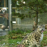 Der schöne Schnee-Leopard, der in Marwell-Zoo fotografiert wird Stockbilder