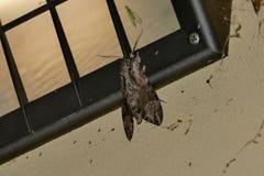 Der sch?ne riesige Schmetterling der silk Motte stockfoto