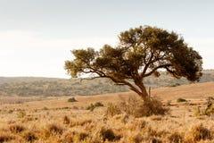 Der Schattenbaum für die wilden Tiere Lizenzfreie Stockfotos