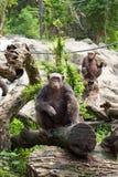 Der Schimpanse auf einem Felsen am Zoo Stockfotos