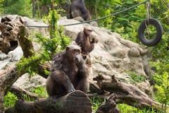 Der Schimpanse auf einem Felsen am Zoo Lizenzfreies Stockfoto