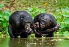 Der Schimpanse Bonobo im Wasser Stockfotos
