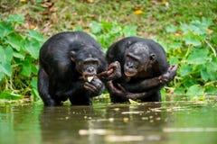 Der Schimpanse Bonobo im Wasser In einer kurzen Entfernung Abschluss oben Der Bonobo (Pan-paniscus), genannt den Pygmäenschimpans Lizenzfreie Stockfotos