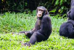 Der Schimpanse, der mit einem Stroh in seinem Mund sitzt und betrachtet, kam Stockbild