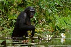 Der Schimpanse montiert Blumen. 2 Lizenzfreie Stockbilder