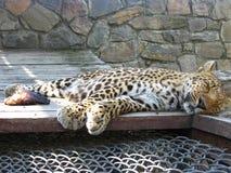 Der Schlafenleopard und das Stück des Fleisches nahe ihm Stockfoto