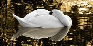Der Schlafenschwan des goldenen Sees lizenzfreies stockbild