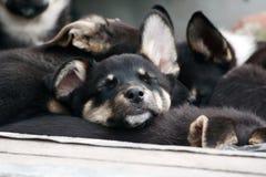 Der Schlafenwelpe. Stockfoto
