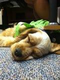 Der Schlafenwelpe Lizenzfreies Stockfoto