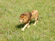 Der schlendernde wilde Löwe Lizenzfreies Stockfoto