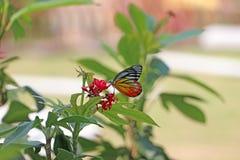 Der Schmetterling auf roten Blumen mit grünem Naturhintergrund der Unschärfe stockfoto