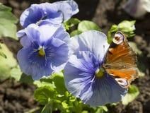 Der Schmetterling des Pfauauges auf einer Blume des blauen Veilchens Lizenzfreie Stockbilder