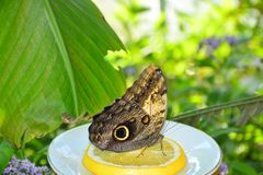 Der Schmetterling isst Stück von Zitrone II stockfoto