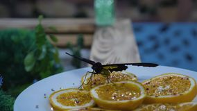 Der Schmetterling trinkt Wasser von einem Stück der Orange Schmetterlingszufuhr stock video footage
