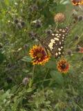Der Schmetterling wählen Blütenstaub die Blume aus Stockfotografie