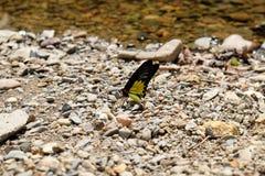 Der Schmetterlingsstand nahe dem Fluss zum Saugen des Minerals und des wat Stockfoto